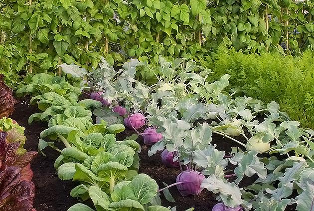 опасность ранних овощей