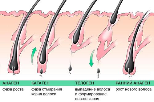 фазы развития волоса